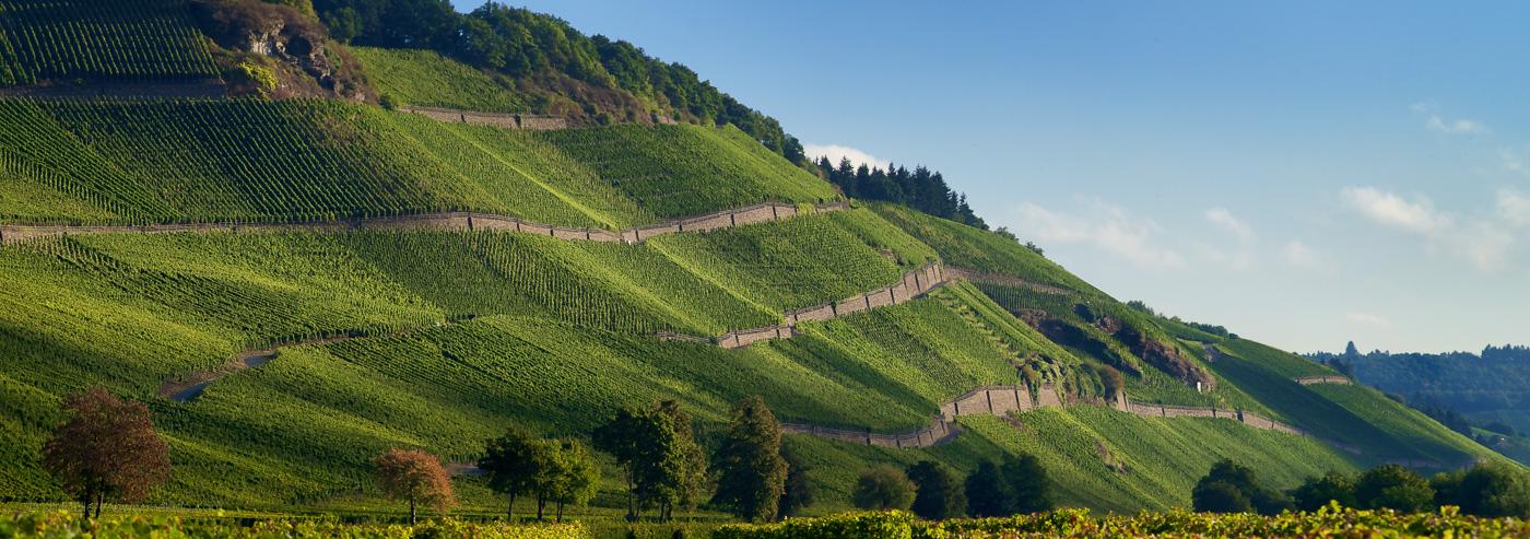 Die Weinlage Brauneberger Juffer, vom Ufer der Mosel aus gesehen.